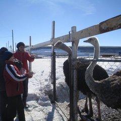 Экскурсия на страусовую ферму в с.Баженово 27 марта 2014 года